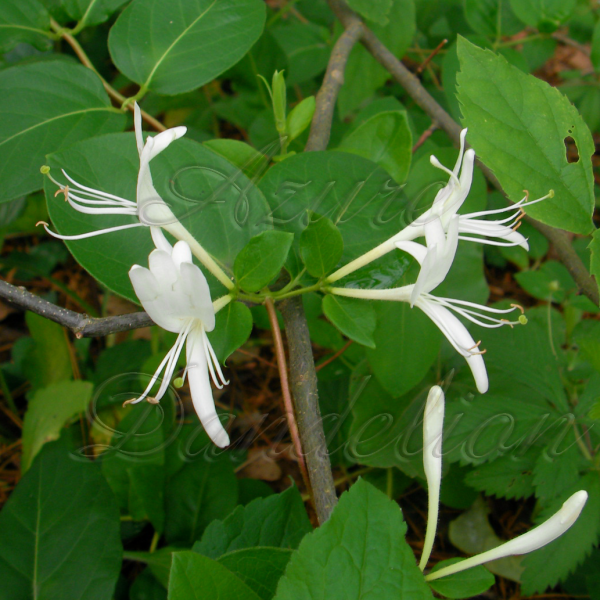Stop and smell the honeysuckle growing a sense of security naturally honeysuckle has long vines with sweet smelling flowers that start white and turns creamy yellow mightylinksfo