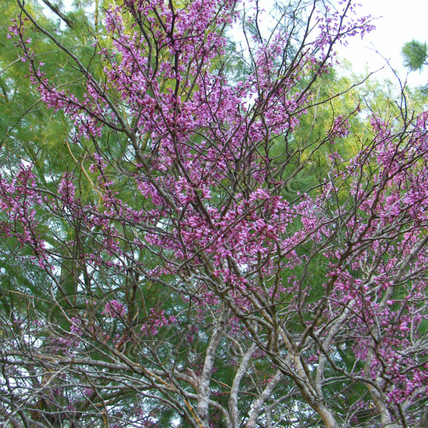 Red Bud In Bloom Growing A Sense Of Security Naturally