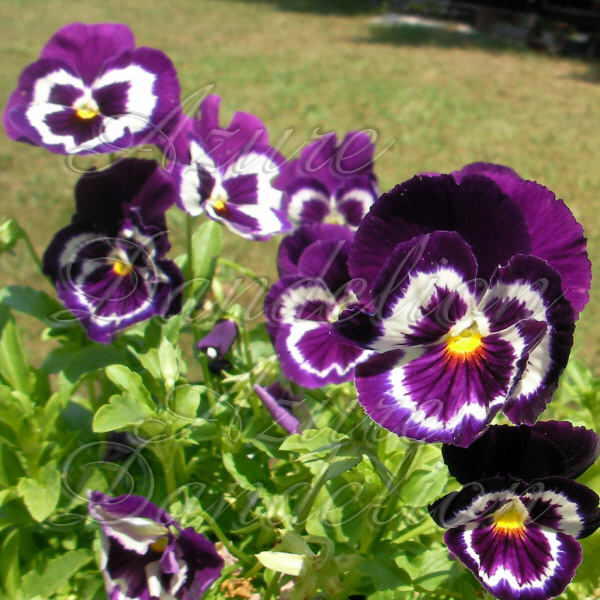 Angel Face Pansy
