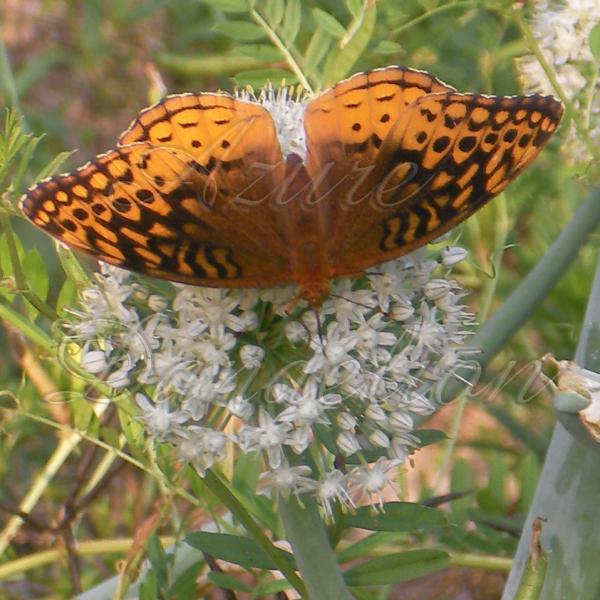 butterflyonwallawalla1wm