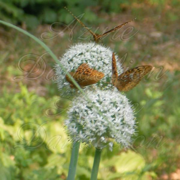 butterflyonwallawalla2wm