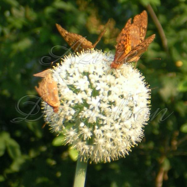 butterflyonwallawalla4wm