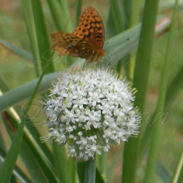 butterflyonwallawalla5wm