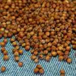 Sugar Drip Sorghum Grain Seeds