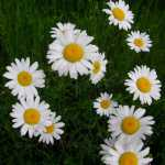 Ozark Daisy Flower Seeds