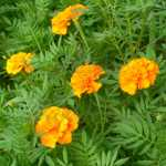 Petite Orange Marigold Seeds