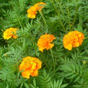 Heirloom Petite Orange Marigold Flower Seed