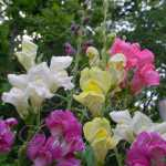Rain Mix Tall Snapdragon Flower Seeds