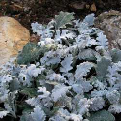 Silver Dust Dusty Miller Flower Seeds