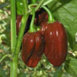 Chocolate Habanero Pepper Seeds