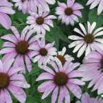 Echinacea Herb Purple Coneflower Seeds