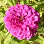 California Giant Zinnia Mix Flower Seeds