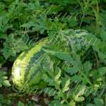 Jubilee Watermelon Seeds