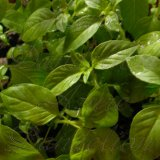 Lime Basil Herb Seeds