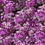 Royal Carpet Alyssum Seeds