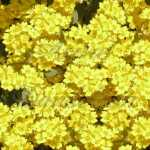 Gold Dust Alyssum Perennial Seeds