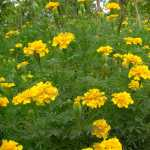 Lemon Drop Yellow Marigold Flower Seeds