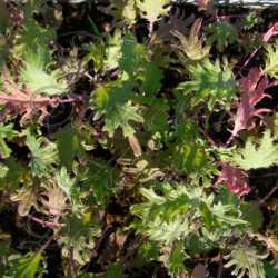 Red Russian Kale Seeds Ragged Jack
