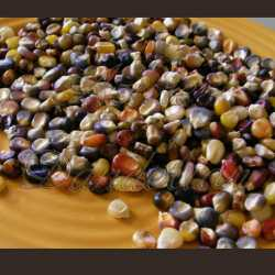 Cherokee Corn Seeds