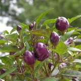 Pretty in Purple Hot Pepper Seeds