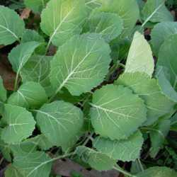Vates Collard Seeds Greens