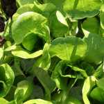 Buttercrunch Lettuce Seeds