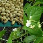 Kenearly Yellow Eye Bean Seeds