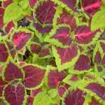Rainbow Mix Coleus Seeds