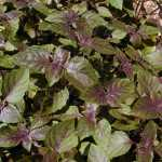 Dark Purple Opal Basil Herb Seeds