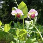 Blauwschokker Blue Podded Pea Seeds