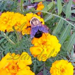 Dwarf Marigold Flower Seeds