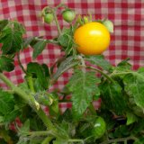 Ozark Gold Nugget Tomato Seeds