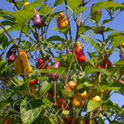 Chinese Five Color Pepper Seeds