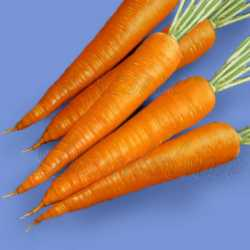 Danvers 126 Carrot Seeds