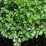 Italian Flat Leaf Parsley Herb Seeds