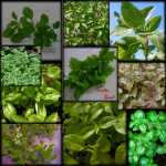 Basil Herb Seeds Collection Variety Pack Basil Herb Garden