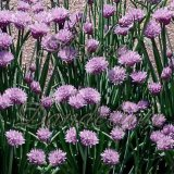 Onion Chives Herb Seeds