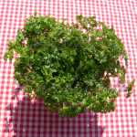 Triple Curled Parsley Herb Seeds