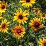 Rain Mix Gloriosa Daisy Flower Seeds