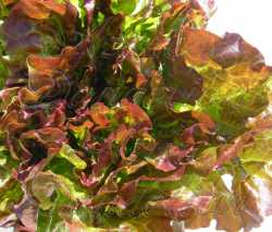 Prize Head Lettuce Seeds