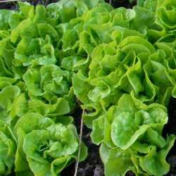 Tom Thumb Lettuce Seeds