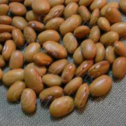 Yellow Indian Woman Bean Seeds
