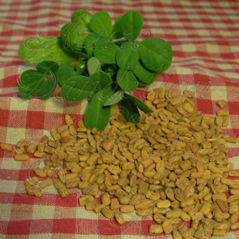 Fenugreek Herb Seeds - Click Image to Close