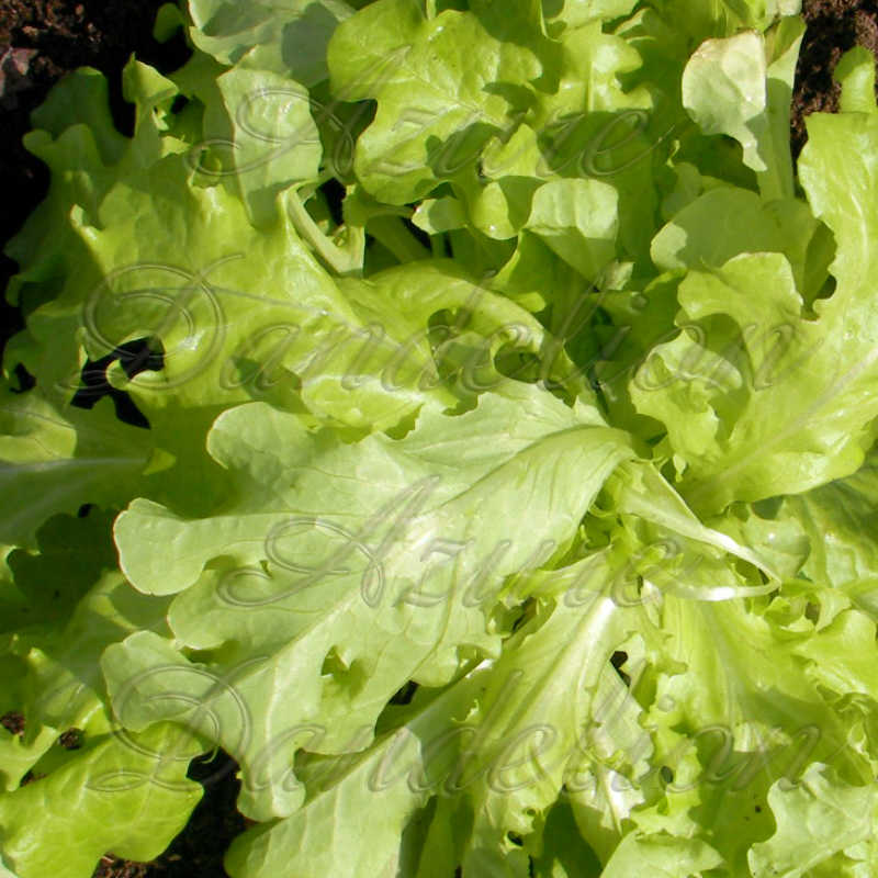 Salad Bowl Green Lettuce Seeds - Click Image to Close