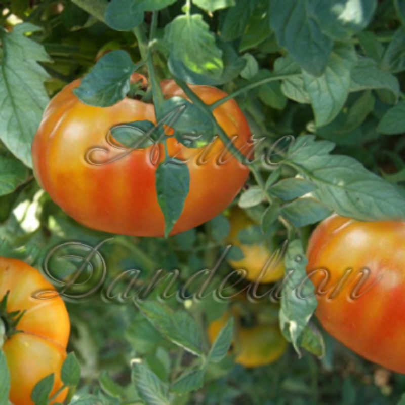 Big Rainbow Tomato Seeds - Click Image to Close