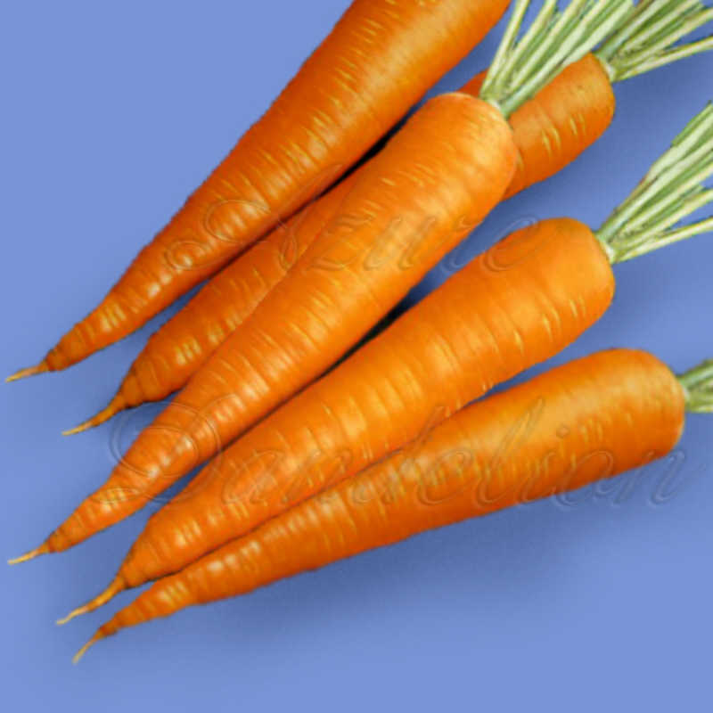 Danvers 126 Carrot Seeds - Click Image to Close
