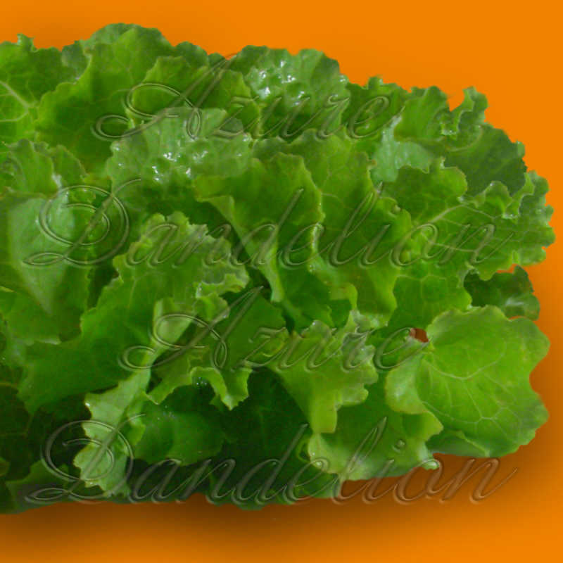 Green Ice Lettuce Seeds - Click Image to Close