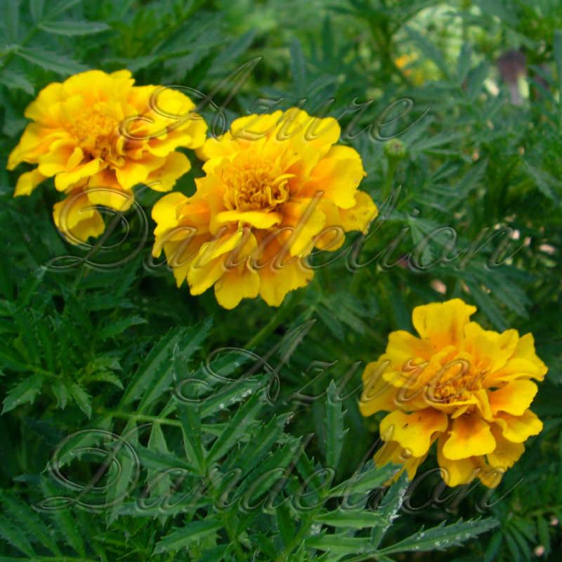 Lemon drop yellow marigold flower seeds heirloom lemon drop yellow lemon drop yellow marigold flower seeds mightylinksfo