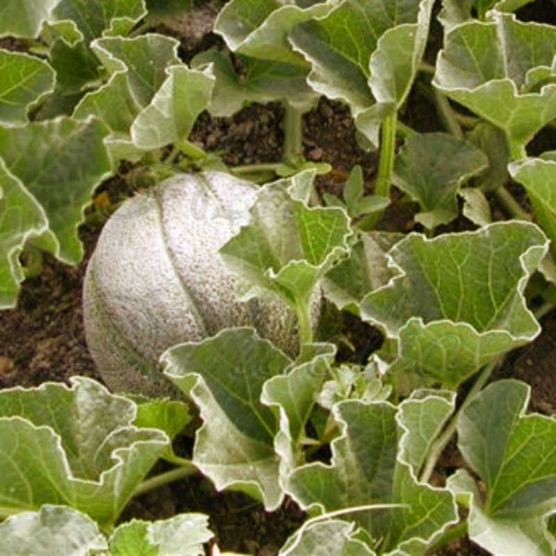 Rocky Ford Melon Seeds Green Flesh - Click Image to Close
