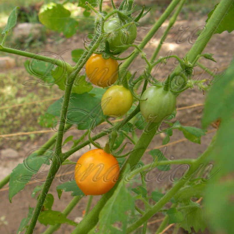Yellow Riesentraube Tomato Seeds - Click Image to Close